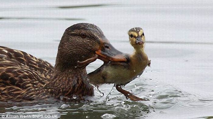 Duck Teaches Little Duckling a Lesson (4 pics)