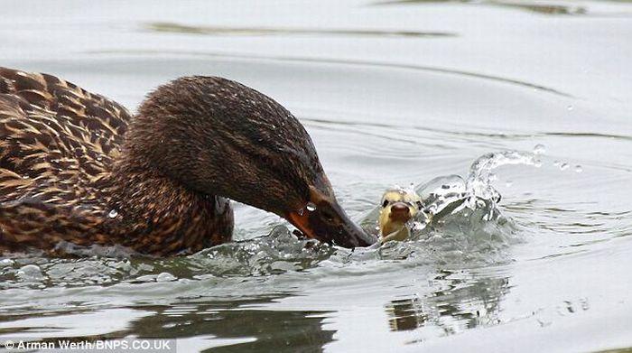 Duck Teaches Little Duckling a Lesson (4 pics)