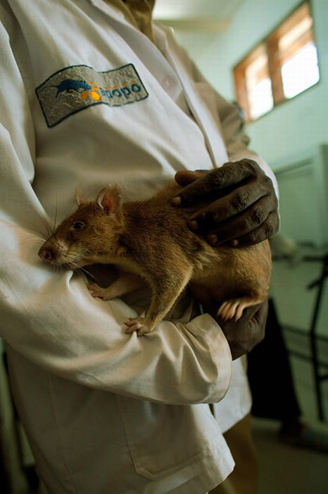 Sniffer Rats Detect Land Mines in Tanzania and Mozambique (13 pics)