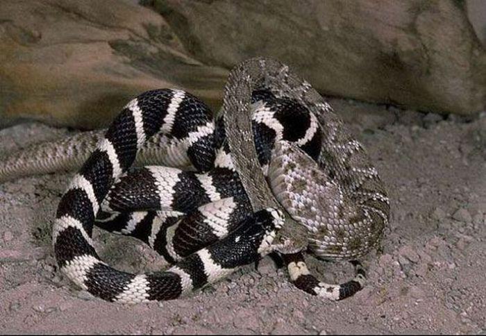 California Kingsnake vs a Rattlesnake (7 pics)