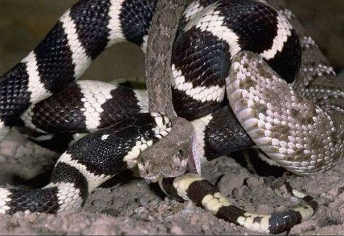 California Kingsnake vs a Rattlesnake (7 pics)