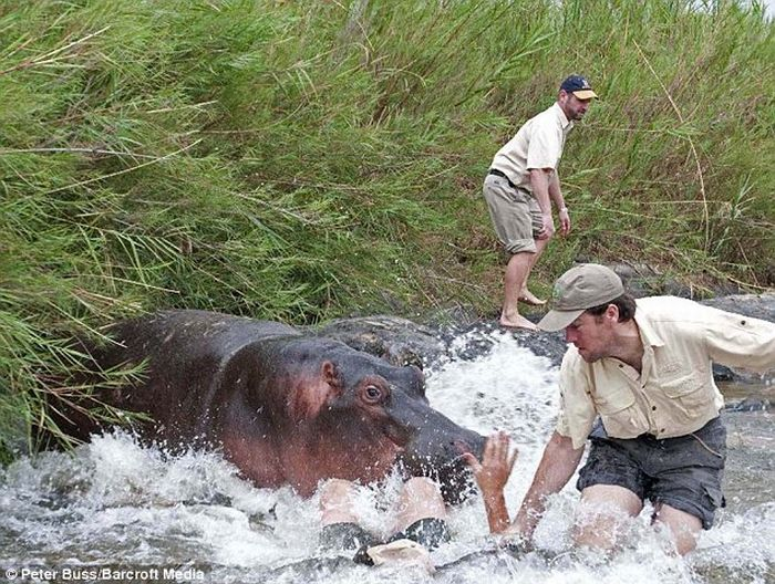 Hungry Hippo Almost Eats a Vet (3 pics)