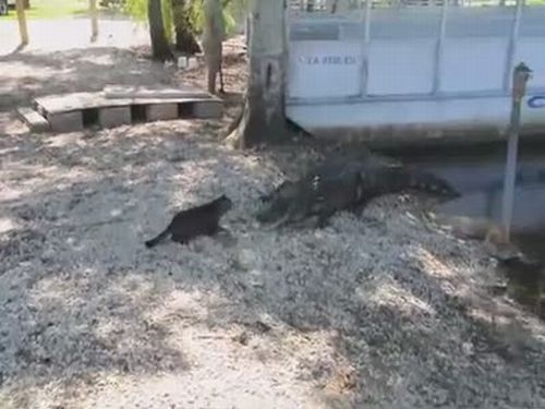 Cat is not Afraid of a Gator