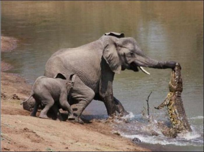 Elephant vs Crocodile Once Again (4 pics)
