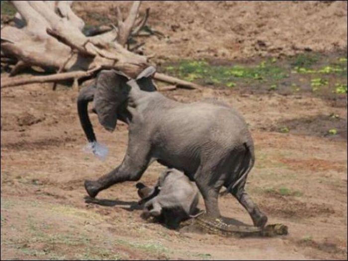 Elephant vs Crocodile Once Again (4 pics)
