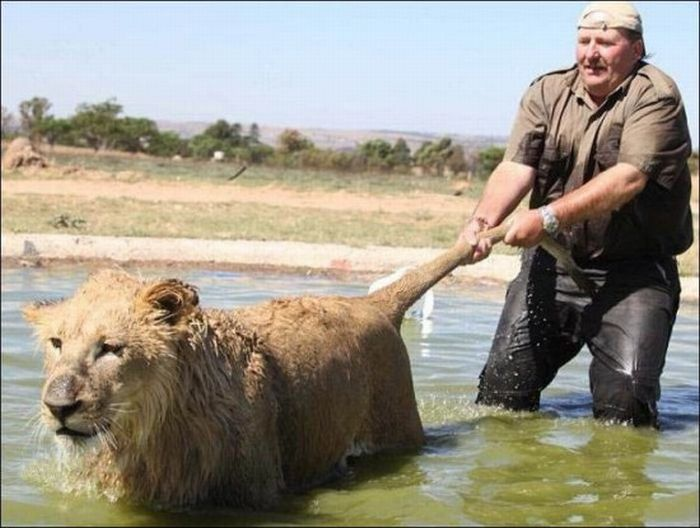 Washing a Lion (4 pics)