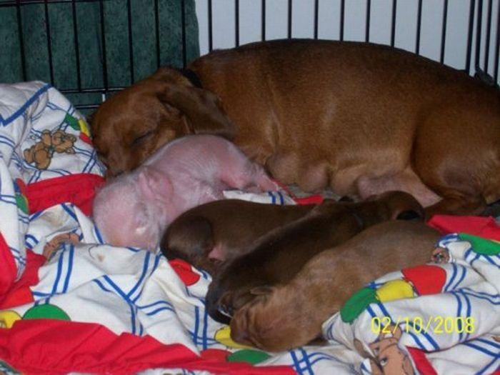 Dachshund Adopts a Little Pig (6 pics)