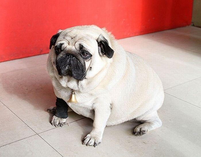 World's Fattest Pug (3 pics)