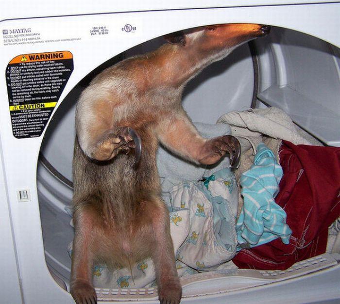 Pet Anteater (25 pics)