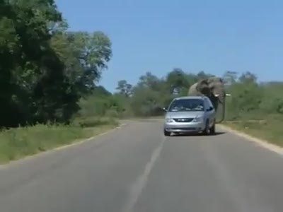 Elephant Attacking a Car