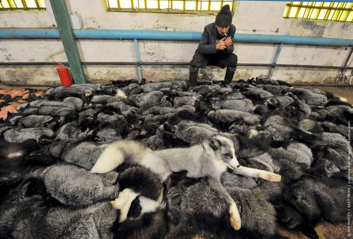 They Die Because People Want Their Fur (10 pics)