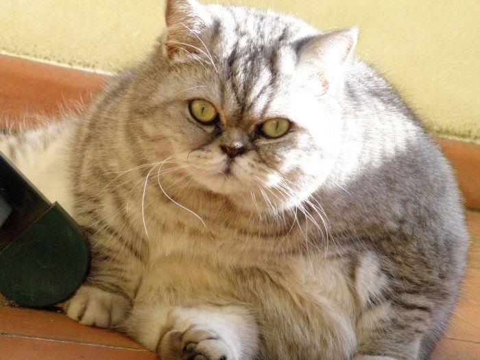 fat cat 08 Fat Cat Giuly is a New Internet Sensation