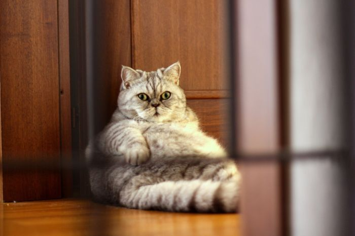 Fat Cat Giuly is a New Internet Sensation (19 pics)