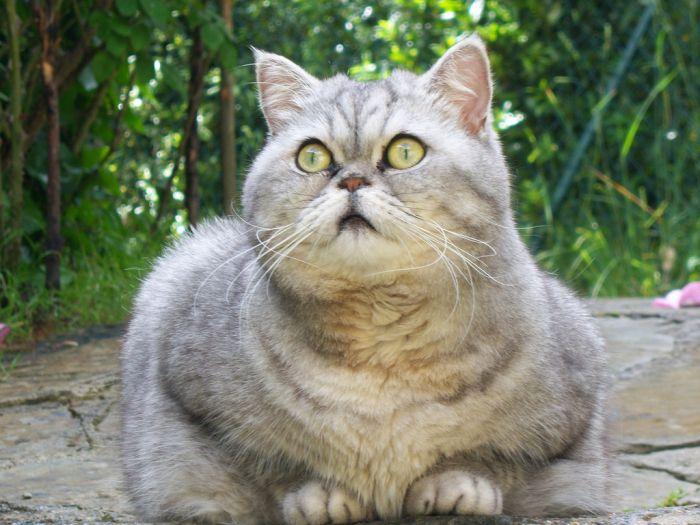 Fat Cat Giuly is a New Internet Sensation (19 pics)