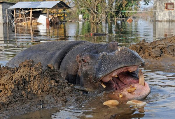 Hippo on the Run (7 pics)