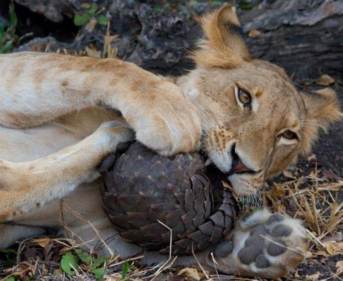 Lion Tries to Eat a Pangolin but Fails (4 pics)