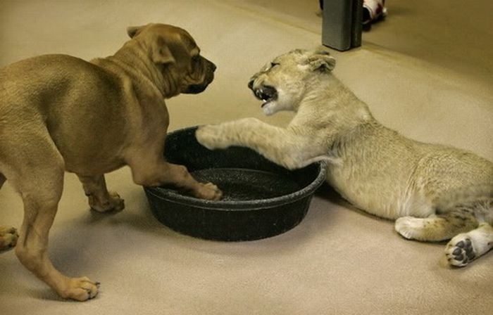 Baby Lion Wrestling with Puppy (11 pics)