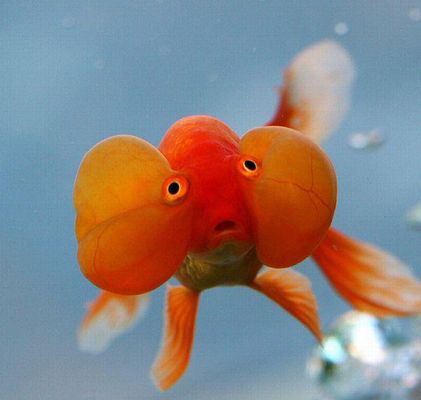 Bubble Eye Goldfish (20 pics)