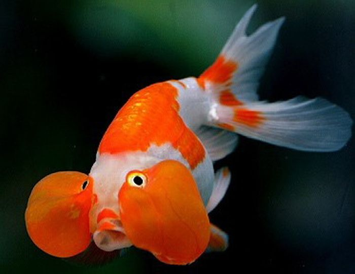Bubble Eye Goldfish (20 pics)