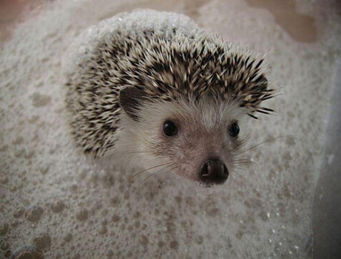 Hedgehogs Taking Bath (30 pics)