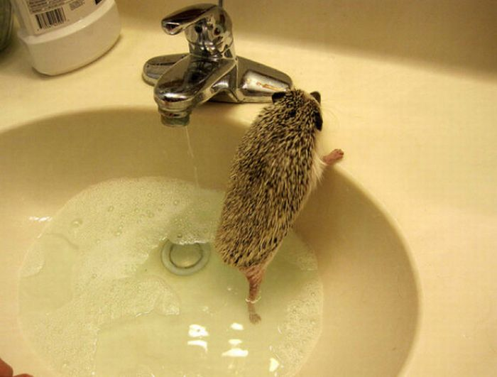 Hedgehogs Taking Bath (30 pics)
