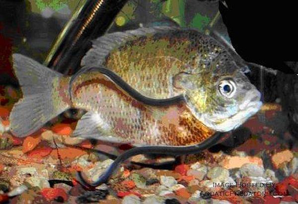 Candiru Fish (10 pics)