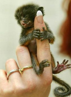 Finger Monkeys (16 pics)
