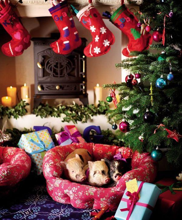 Micro Pigs and Christmas (11 pics)