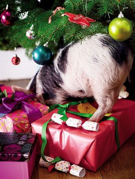 Micro Pigs and Christmas (11 pics)