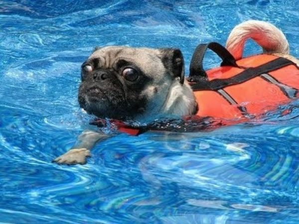 Pugs in Life Jackets (21 pics)