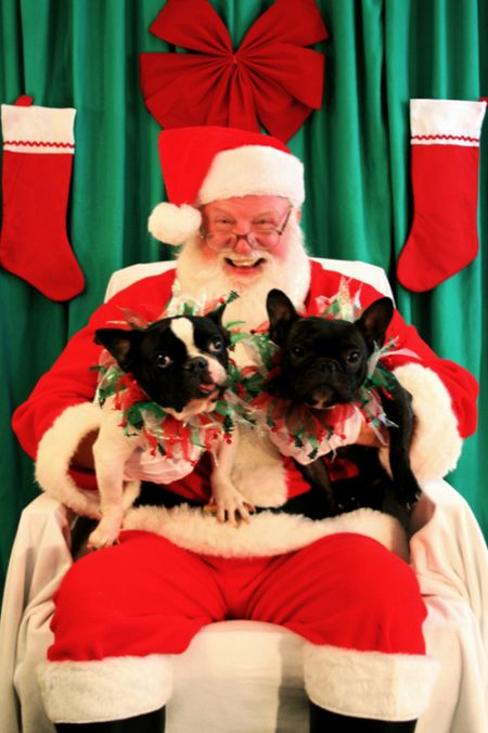 Santa with Bulldogs (25 pics)