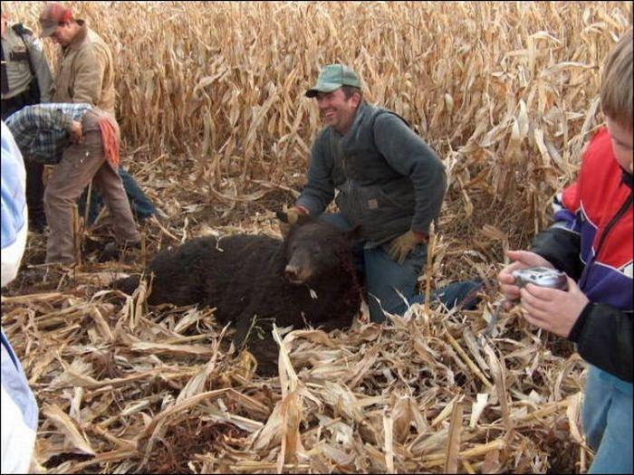 Harvester vs Bear (3 pics)