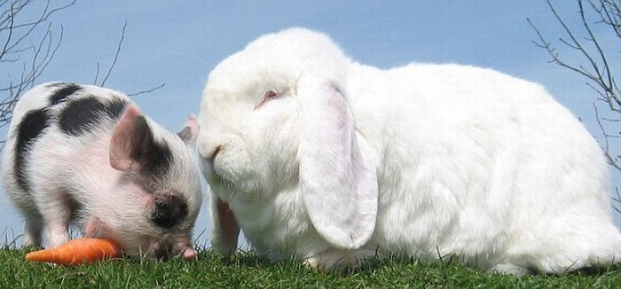 So Cute. Micro-Pig and a Rabbit (4 pics)