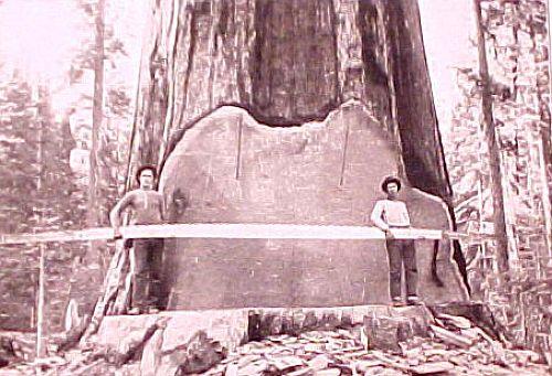 Huge Trees (39 pics)