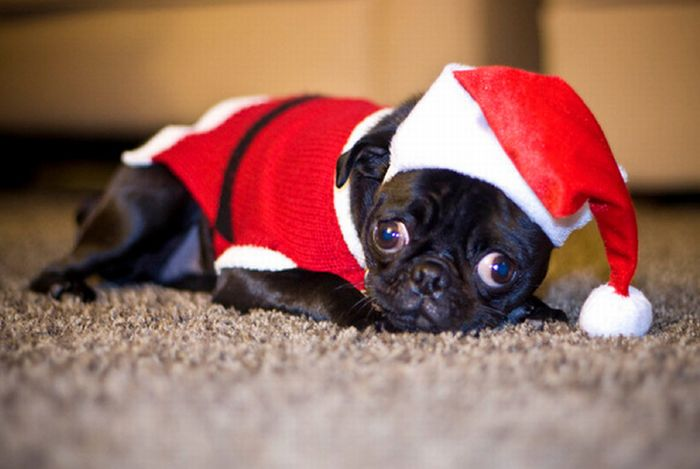 10 Times Pugs Stole Christmas
