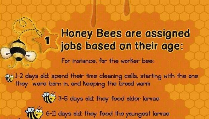 Interesting Facts About Honey Bees (infographic)