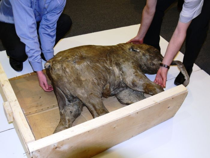Frozen Baby Mammoth Found in Russia (9 pics)