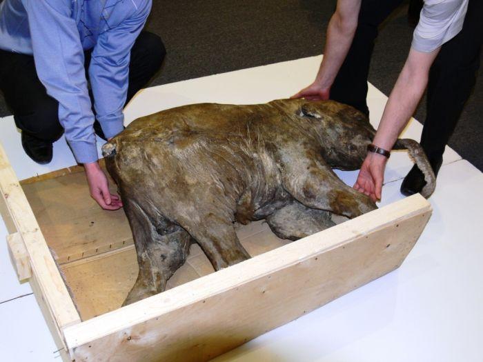 Encontraron bebe mamut congelado en rusia