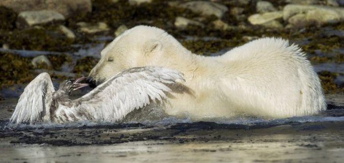 Bear vs Seagull (9 pics)