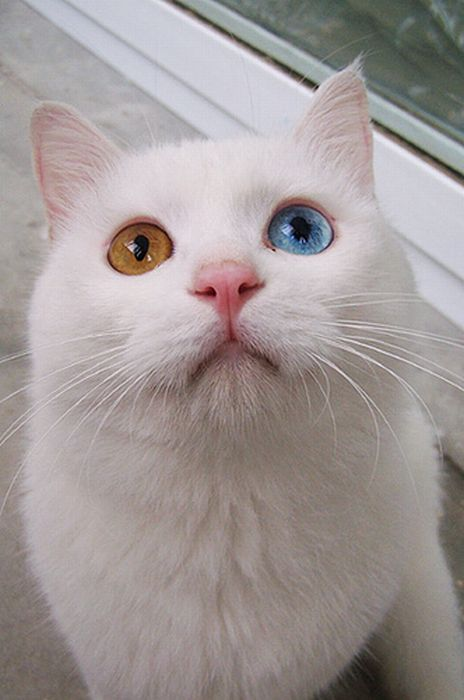 Cat with Two Different Color Eyes (7 pics)