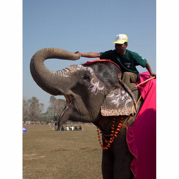 Elephant Beauty Pageant in Nepal (15 pics)