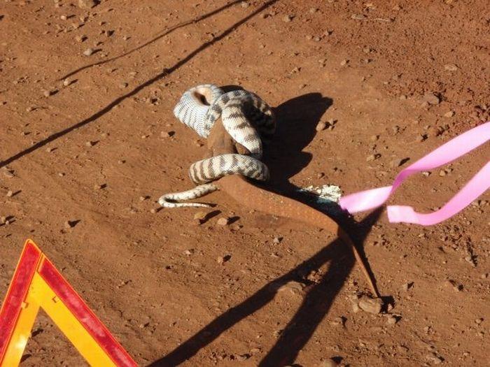 Snake Eats a Lizard (15 pics)
