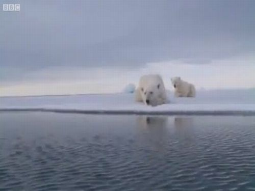 Polar Bear Playing with Spy Video Camera