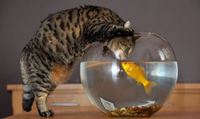Cat and Goldfish (4 pics)