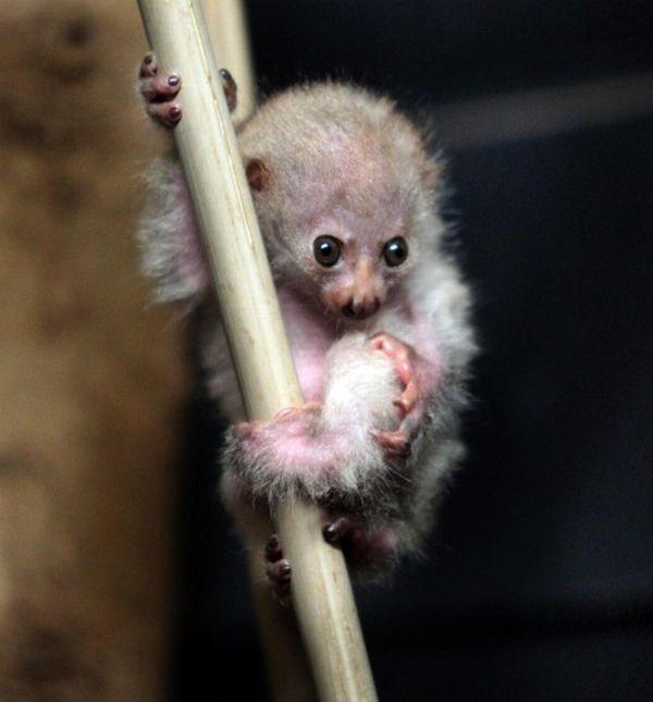 Newborn Potto (3 pics)