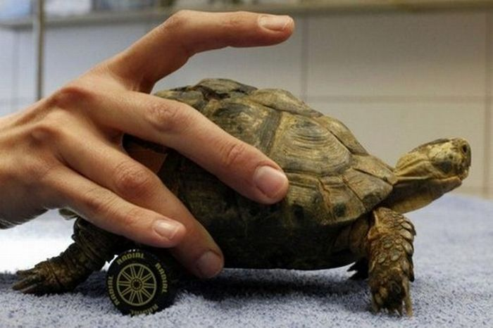 Wheelchair for a Turtle (3 pics)