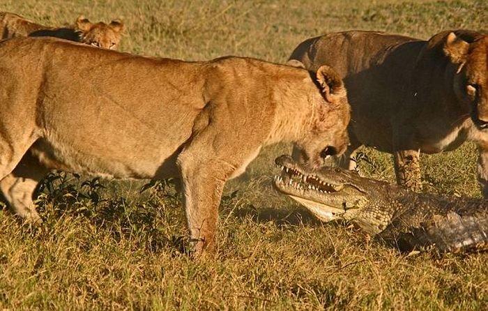 Three Lionesses vs Crocodile (9 pics)