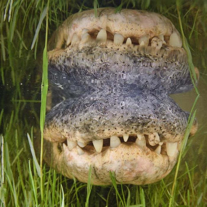 Close-up Underwater Snaps of an American Alligator (10 pics)