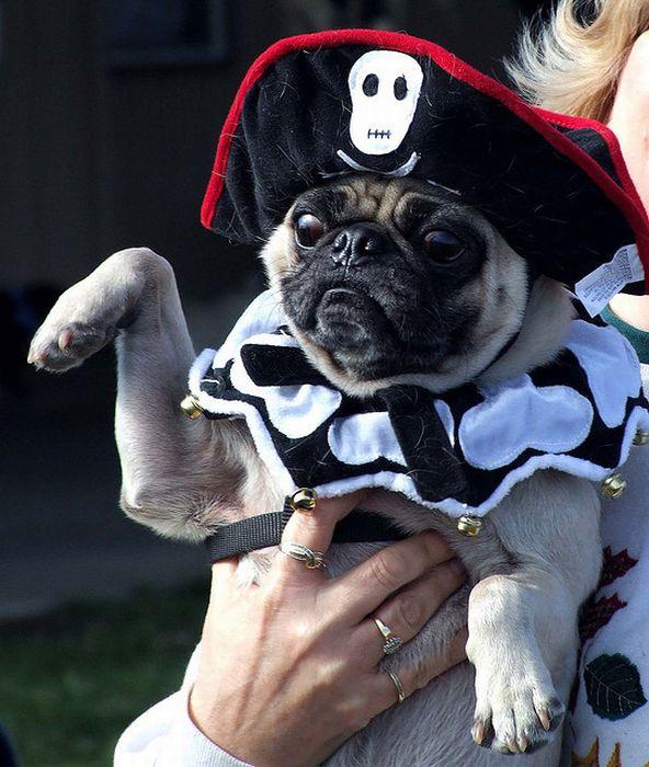 Pug Pirates (24 pics)