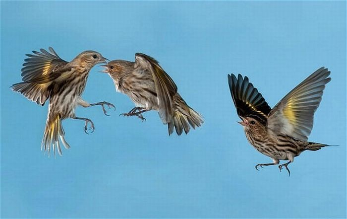 Birds in Mid-Flight Photographed by Roy Hancliff (15 pics)